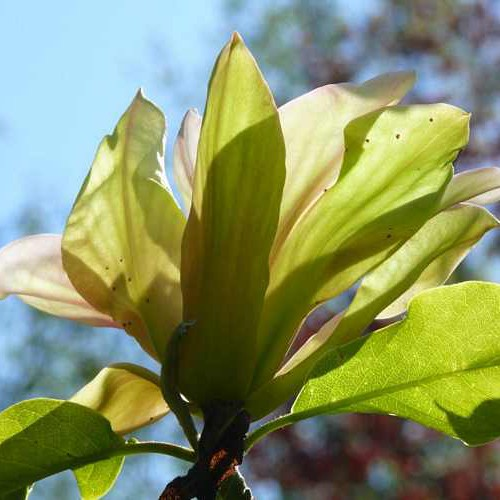 Magnolia solarflair